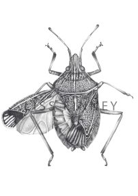 Brown marmorated stink bug, (Halyomorpha halys). Graphite on Archers Hot Press, 2013